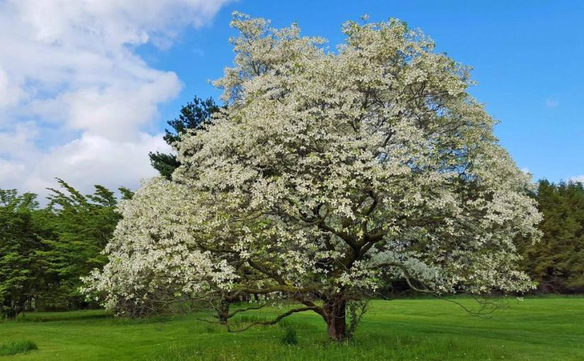 Pearls of Fishing Wisdom: When the Dogwoods Bloom